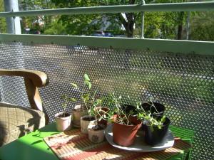 Tomaten- und Brokkolisetzlinge gewöhnen sich an die frische Luft, bevor es ans Umtopfen geht.